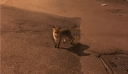 Κάμερα κατέγραψε αλεπού να κάνει βόλτες στην πόλη της Κοζάνης (βίντεο)