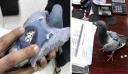 Συνελήφθη περιστέρι «βαποράκι»που μετέφερε εκατοντάδες χάπια έκσταση