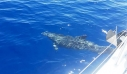 Δελφίνια «χορεύουν» στη θάλασσα της Άνδρου