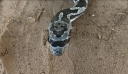 Αυτό το ξεχωριστό Φίδι έχει γίνει Viral σε όλο το διαδίκτυο. Ο λόγος; Προσέξτε το πρόσωπό του και θα καταλάβετε..!