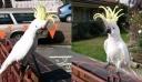 Στην Αυστραλία μερακλής Παπαγάλος τραγουδάει: «Σαν πας στην Καλαμάτα»