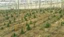 Ποινή 15 ετών για τα 906 χασισόδεντρα στην Ιεράπετρα