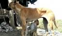 Σκύλος «υιοθέτησε» μαϊμουδάκι και το θηλάζει (βίντεο)