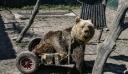Θεσσαλονίκη: Πέθανε ο Ούσκο, η πρώτη αρκούδα στον κόσμο που χρησιμοποιούσε αναπηρικό αμαξίδιο (βίντεο)