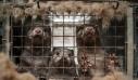 Κοζάνη: Θετικά στον κορονοϊό όλα τα δείγματα των μινκ σε φάρμα