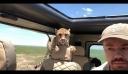 """Τσιτάχ """"μπούκαρε"""" στο τζιπ τουριστών που έκαναν σαφάρι [βίντεο]"""