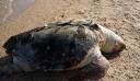 Θαλάσσια χελώνα 80 κιλών βρέθηκε νεκρή σε παραλία της Θεσσαλονίκης (εικόνες)
