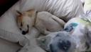 Απολαυστικό βίντεο: Κουτάβι κάνει ότι κοιμάται για να μην πάει στον κτηνίατρο!