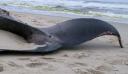 Φάλαινα ξεβράστηκε στην Κερατέα