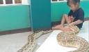 Τρίχρονη κάνει τον οδοντίατρο σε βιρμανικό πύθωνα 4,5 μέτρων [βίντεο]