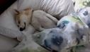 Επικό βίντεο: Κουτάβι κάνει ότι κοιμάται για να… γλιτώσει τον κτηνίατρο!