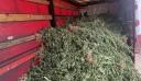 Εξαρθρώθηκε κύκλωμα καλλιέργειας κάνναβης που θα αποκόμιζε κέρδη 26 εκατ. ευρώ – 24 συλλήψεις