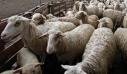 Λασίθι: 7.000 κλοπές ζώων μέσα σε ένα χρόνο