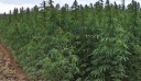 Κορινθία: Βρήκαν φυτεία με 250 δενδρύλλια κάνναβης