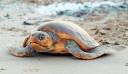 Θαλάσσιες χελώνες επιτέθηκαν σε 40 λουόμενους σε παραλία της Μάνης