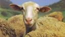 Κρήτη: Δε φαντάζεστε τι σκέφτηκε βοσκός για να μην ζευγαρώσουν τα πρόβατά του [φωτο]