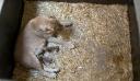Λέαινα σκότωσε τα μωρά της και τα έφαγε – Πώς το εξηγούν οι ειδικοί