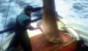 Έπιασαν καρχαριοειδές 400 κιλών μεταξύ Σκιάθου και Πλατανιά