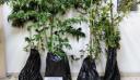 Τρύγησε δυο κιλά κάνναβης από μίνι χασισοφυτεία στην Εορδαία