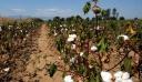 Βασίλης Κόκκαλης: Τέρμα πλέον οι ανοιχτές τιμές στο βαμβάκι