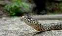 Απίστευτο και όμως αληθινό: το φίδι που είχε για κατοικίδιο σφήνωσε στο λοβό του αυτιού της (φωτό)
