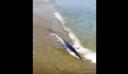 Καρχαρίας βγήκε σε παραλία στα Χανιά (βίντεο)