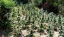 Οινόη: Εντοπίστηκε φυτεία με δενδρύλλια κάνναβης