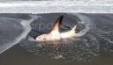 Χανιά: Καρχαρίας τριών μέτρων ξεβράστηκε στην παραλία του Πλατανιά