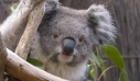 Αυστραλία: Κίνδυνος εξαφάνισης των κοάλα στη Νέα Νότια Ουαλία έως το 2050