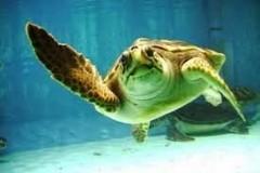 Περιπετειώδη τα θαλάσσια χελωνάκια