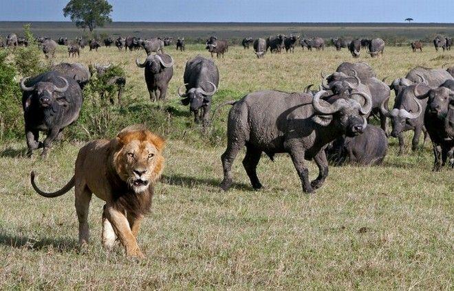 Τα λιοντάρια, έγιναν για λίγο γατάκια