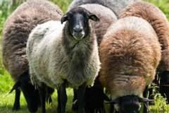 Τρίπολη – Εικόνες ντροπής με πρόβατα να βόσκουν στα απορρίμματα (pic)