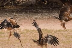 Επική μάχη ανάμεσα σε έναν αετό και μια κόμπρα! Βίντεο.