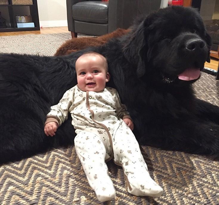Αξιολάτρευτες γιγάντιες «μπέιμπι σίτερ» Η εκπληκτική συμβίωση τριών μικρών παιδιών με δύο τεράστια σκυλιά – Δείτε φωτογραφίες και βίντεο