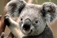 Το Αυστραλιανό Κοάλα εξυπνότερο από τα άλλα είδη αρκούδας