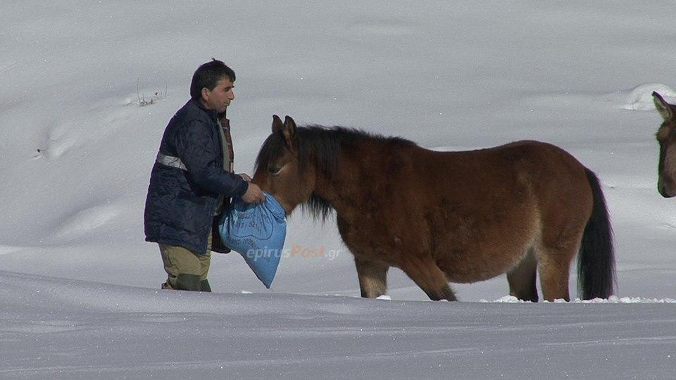 Η ΕΜΑΚ διέσωσε 20 εγκλωβισμένα άλογα από τα χιονισμένα βουνά της Πίνδου (εικόνες & βίντεο)