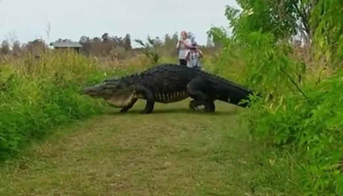 Φλόριντα: Γιγαντιαίος αλιγάτορας έκανε την εμφάνισή του σε πάρκο [vid]
