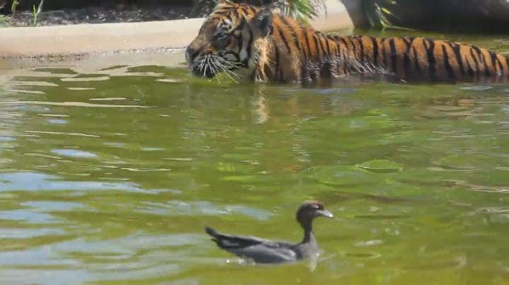 Αυτή είναι η πιο γενναία πάπια στον κόσμο – Κολυμπούσε αγέρωχη δίπλα σε τίγρη [vid]