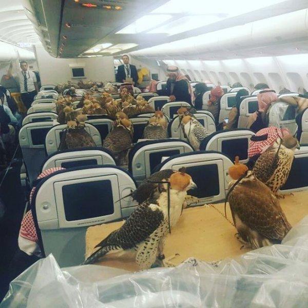 """Απίθανος! Σαουδάραβας πρίγκιπας έκλεισε πτήση στην """"πρώτη θέση"""" για τα 80 γεράκια του"""