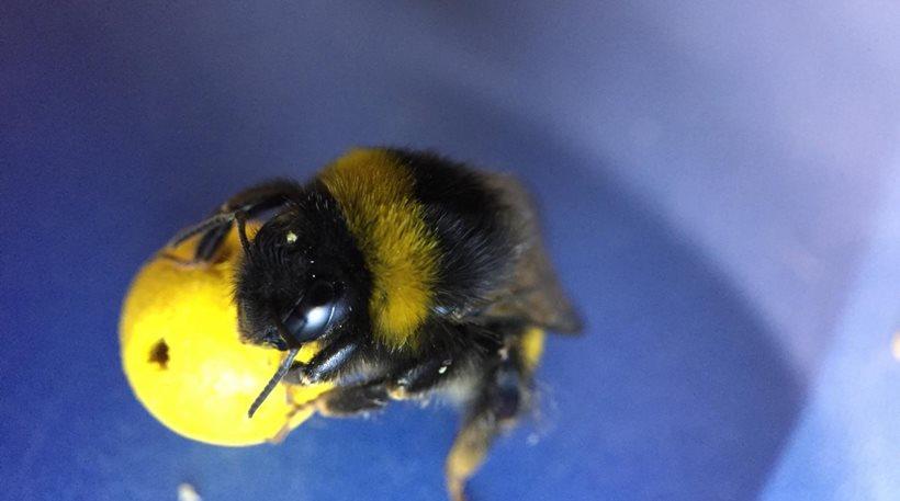 Απίστευτο: Επιστήμονες έμαθαν σε μέλισσες να παίζουν ποδόσφαιρο και να βάζουν γκολ (βίντεο)