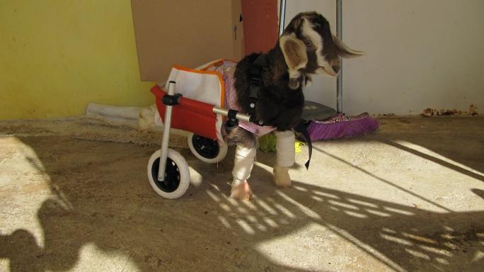 Ένα κατσικάκι, ανάπηρο εκ γενετής, βρέθηκε πεταμένο σε κάδο σκουπιδιών στο Ναύπλιο – Κάποιοι όμως το βοήθησαν (εικόνες & βίντεο)