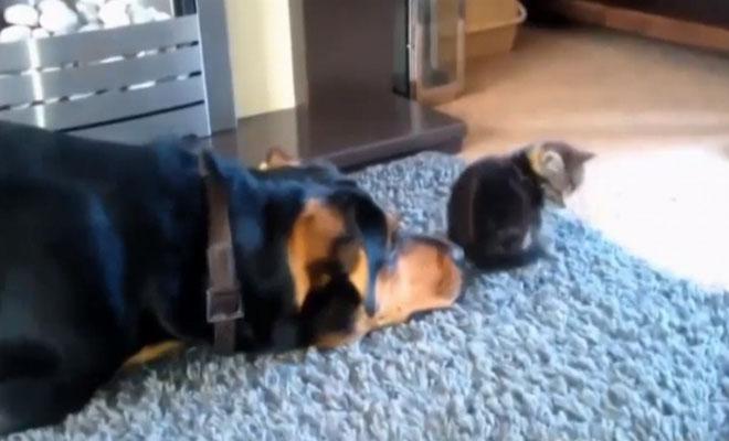 Ο σκύλος πλησιάζει πισώπλατα το γατάκι… Η συνέχεια θα σας κάνει να λιώσετε [Βίντεο]