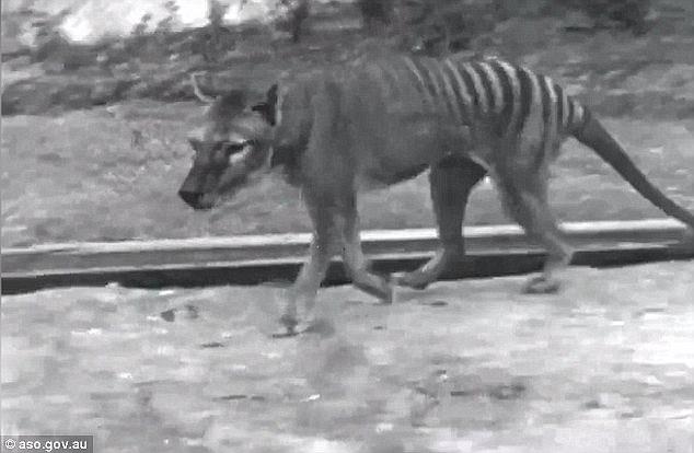 Απίστευτο! Οι επιστήμονες νόμιζαν ότι έχει εξαφανιστεί, αλλά η Τίγρης της Τασμανίας εντοπίστηκε ξανά, μετά από 80 Χρόνια!