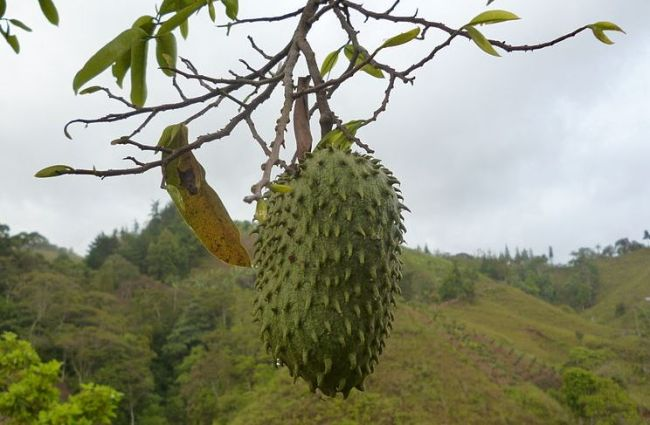 Οι φαρμακευτικές εταιρείες μας κρύβουν χρόνια αυτό το φρούτο που θεραπεύει τον καρκίνο. Δείτε ΠΟΙΟ είναι και ΒΟΗΘΗΣΤΕ να το μάθουν όλοι!