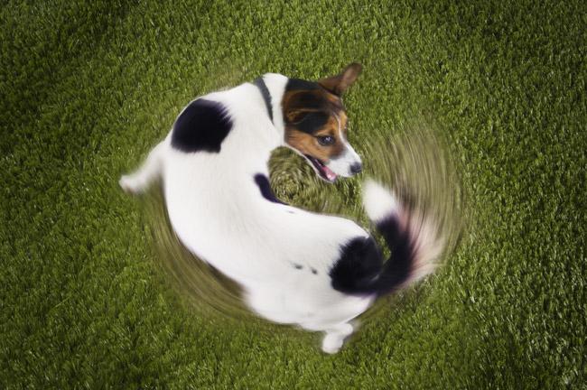 Ο σκύλος σας κυνηγάει την ουρά του; Δείτε τι σημαίνει [βίντεο]