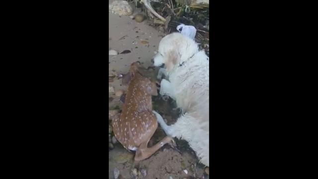 Συγκλονιστικό βίντεο: Σκύλος σώζει ελαφάκι από πνιγμό