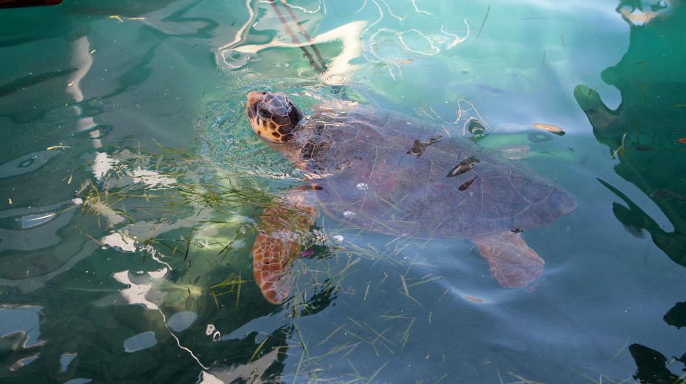 Ελούντα: Η θάλασσα ξεβράζει αποκεφαλισμένες χελώνες καρέτα-καρέτα