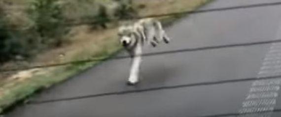 Λύκος τρέχει πίσω από αυτοκίνητο στον Καναδά [βίντεο]
