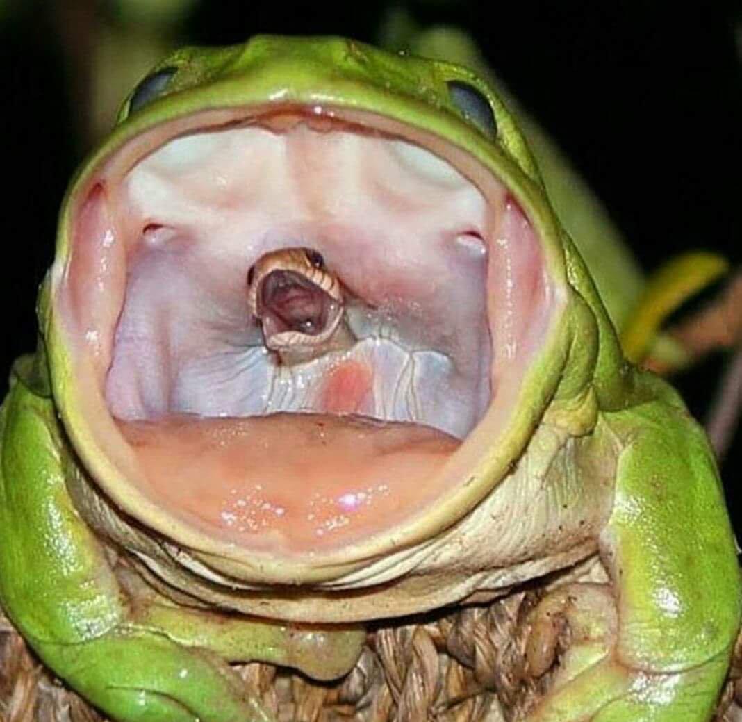 Η τελευταία κραυγή φιδιού που καταβροχθίζεται από βάτραχο σε μια συγκλονιστική φωτογραφία