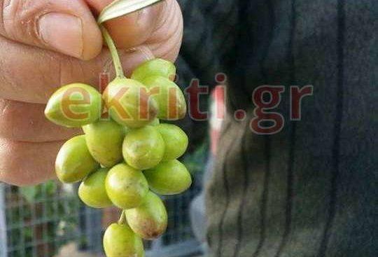 Αγρότης από την Κρήτη βγάζει ελιές σαν… σταφύλια [φωτο]